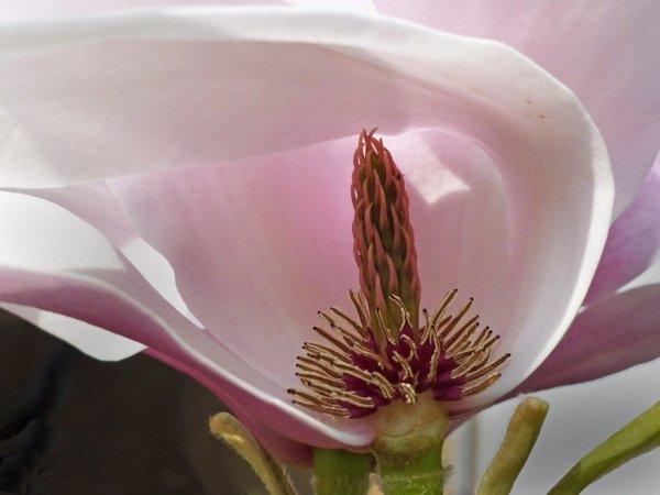 Przesadzanie magnolii. Jak przesadzić magnolie