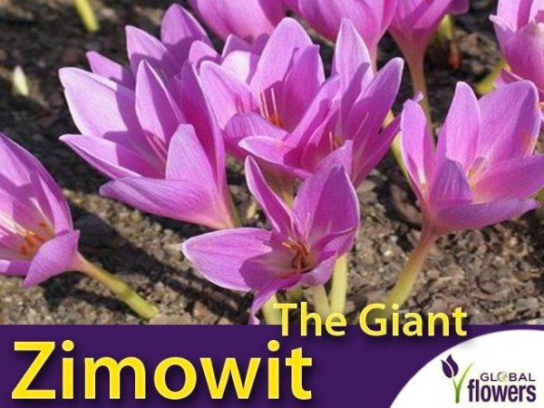 Zimowit The Giant (Colchicum) CEBULKA