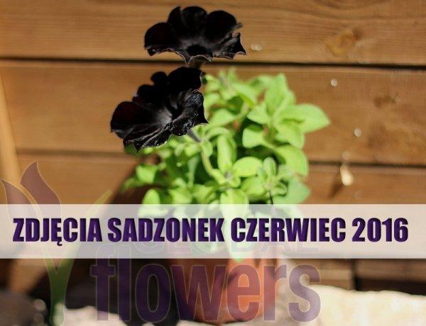 Czarna petunia uprawa, czarna petunia sklep