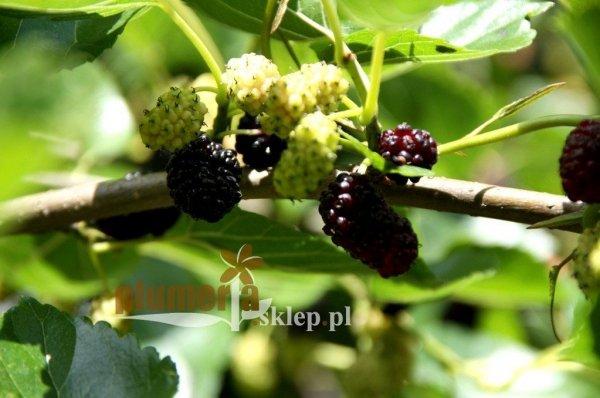 Owoce czarnej morwy