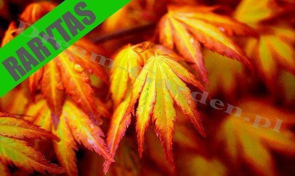 Klon Palmowy 'Orange Dream' (Acer palmatum) Piękna Pomarańczowa Odmiana Sadzonka