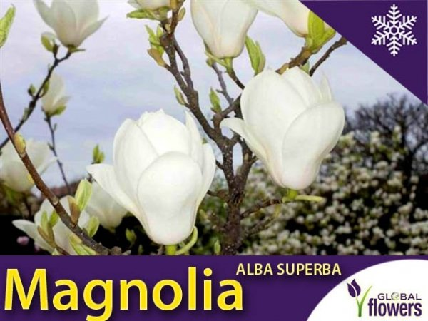 Magnolia 'Alba Superba' (Magnolia ×soulangeana) Duża Sadzonka