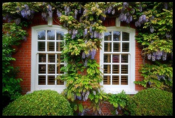wisteria uprawa