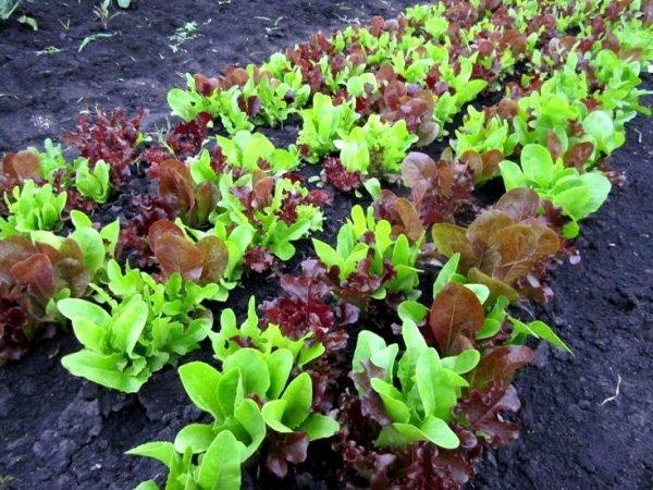 Baby Leaf Mieszanka Pikantna 1,5g