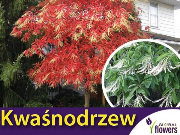 Kwaśnodrzew (Oxydendrum arboreum) dla kolekcjonerów Sadzonka