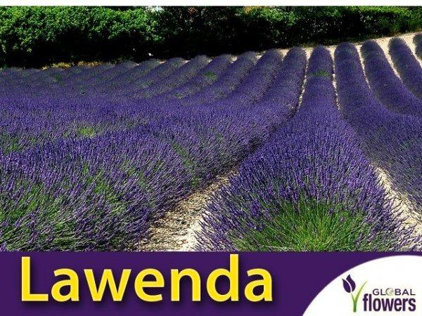 Lawenda ogrodowa (Lavandula vera) Sadzonka
