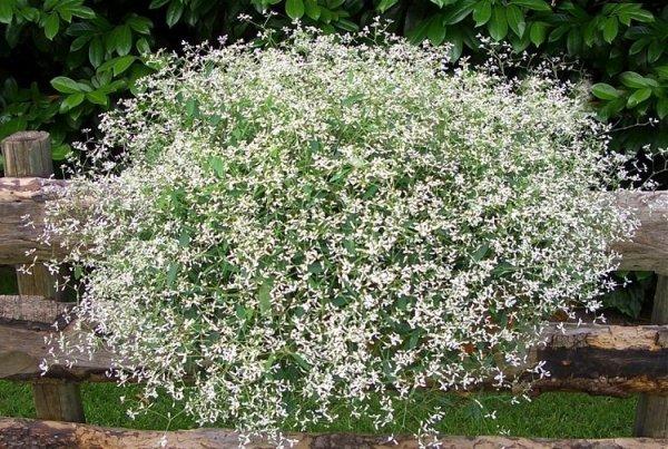 Euphorbia 'Diamond Frost' stanowisko uprawa i pielęgnacja