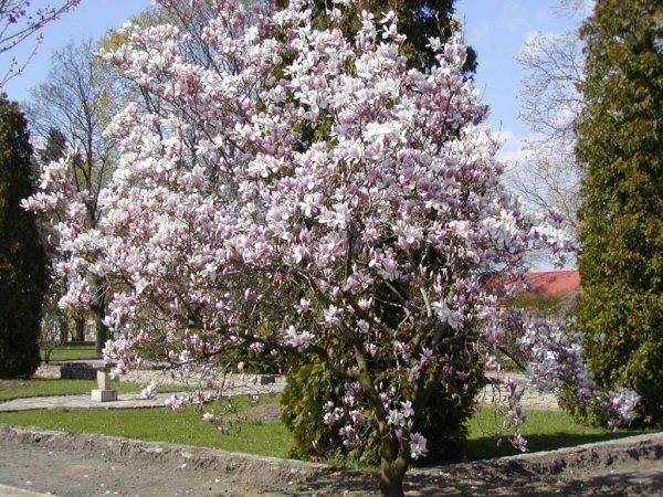 Magnolia Pośrednia 'Soulangeana'  uprawa