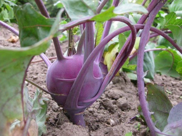 Kalarepa Delikatess Blauer (Brassica oleracea convar. arcephala var. gongylodes) 2g