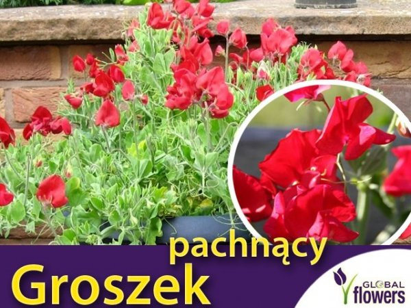 Groszek pachnący, czerwony (Lathyrus odoratus) 3g