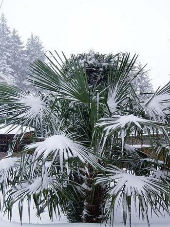 Palma Mrozoodporna (Trachycarpus fortunei) nasiona