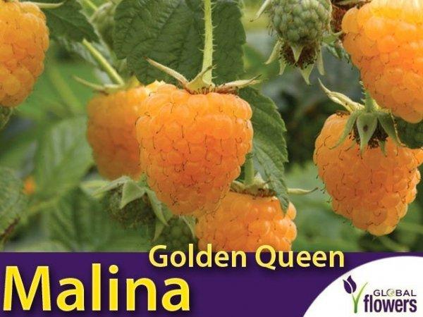 Malina żółta Golden Queen (Rubus idaeus) Sadzonka