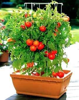 pomidory na balkony