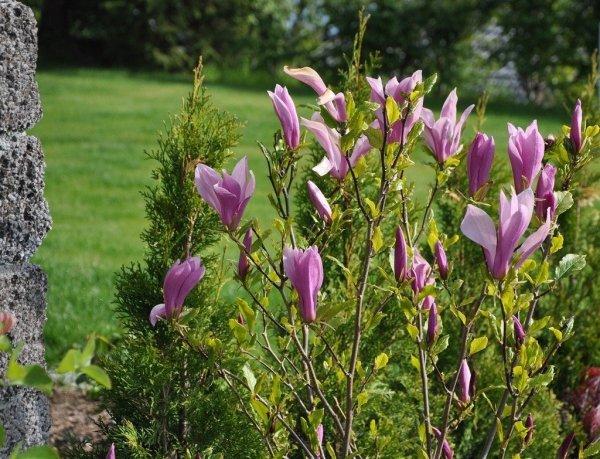 magnolia jaka ziemia do sadzenia