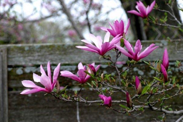 Magnolia pielęgnacja na zimę