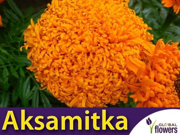 Aksamitka wzniesiona, Fantastic pomarańczowa (Tagetes erecta fl. pl.) 0,4g