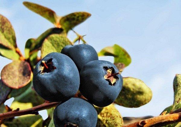Uprawa borówki - Sadzenie, Nawożenie, Przycinanie, Rozmnażanie