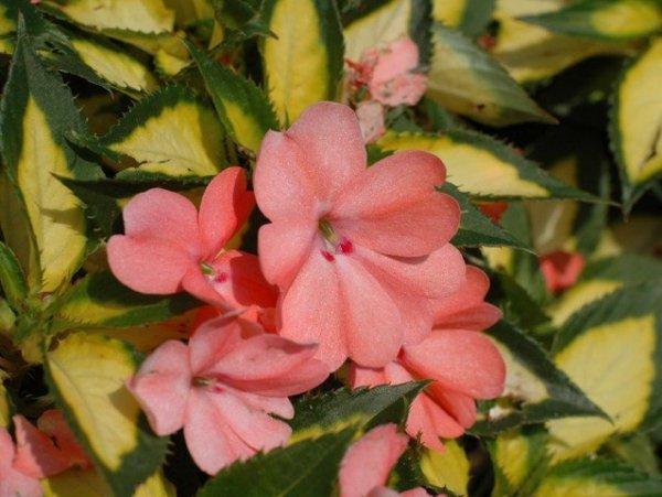 NIECIERPKI – kwiaty balkonowe i rabatowe.