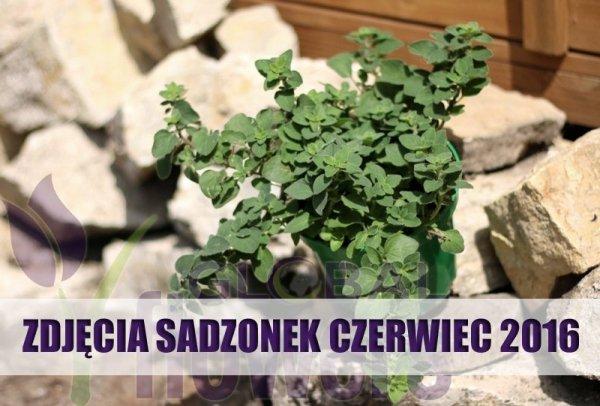 Świeże zioła uprawiane w domu