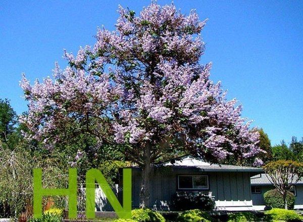Paulownia Cesarskie Drzewko Szczęścia (Paulownia Tomentosa)