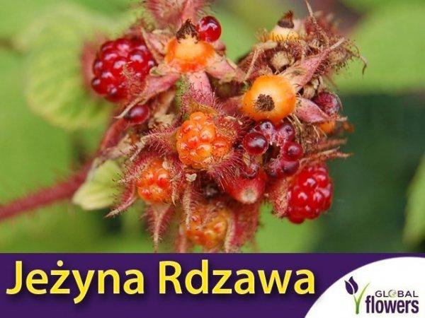 Jeżyna rdzawa 'Japanese Vineberry' (Rubus Phoenicolasius) Sadzonka