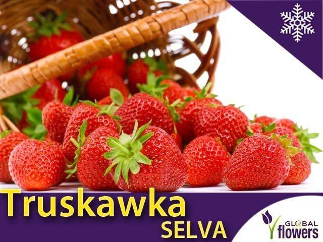 Truskawka Selva Sadzonka Powtarzająca Owocowanie Cena 5zł Sklep Ogrodniczy Plumeria
