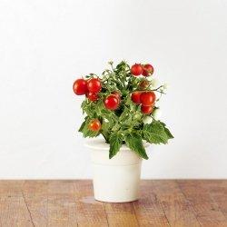 Kapsułki roślinne 3-pak Pomidor koktajlowy
