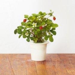 Kapsułki roślinne 3-pak Poziomka