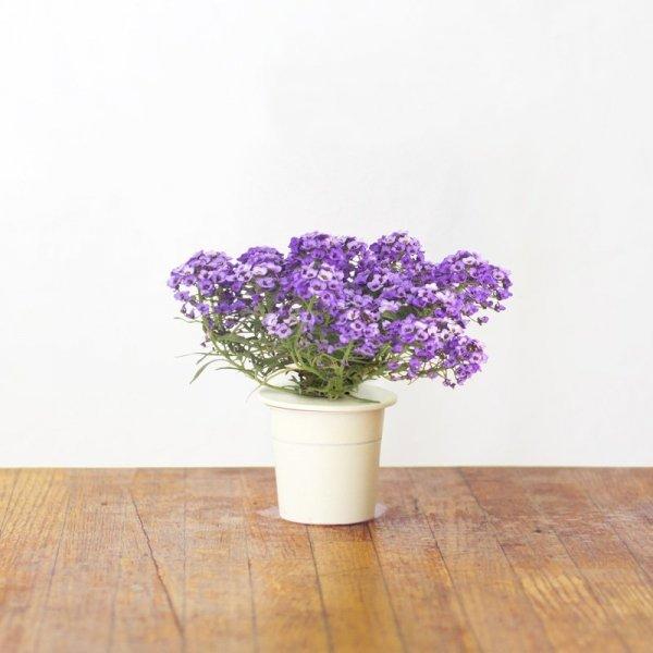 Kwiaty smagliczki nadmorskiej mają piękny, słodki zapach