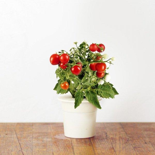Świeże pomidorki koktajlowe na co dzień w twoim domu