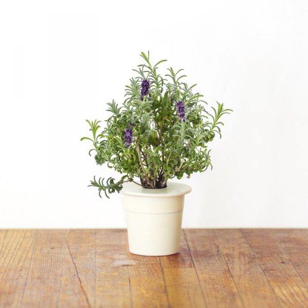 Lawenda to roślina bardzo powszechnie używana w kosmetyce