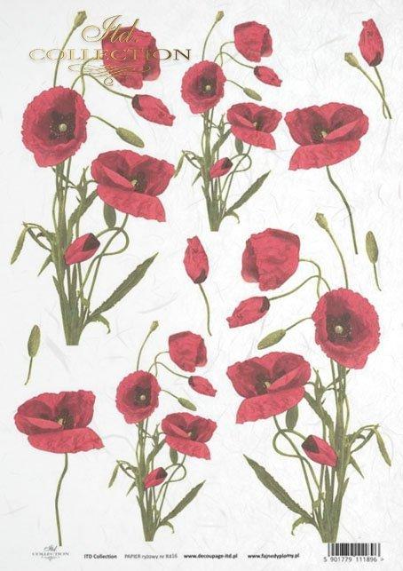 poppy, poppies, flower, flowers, R416
