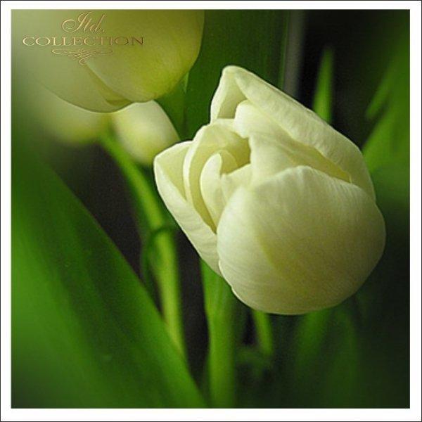 Zaproszenia ślubne / Zaproszenie 1721_tulipan