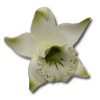 Katleja seledynowa malowana - 10 szt