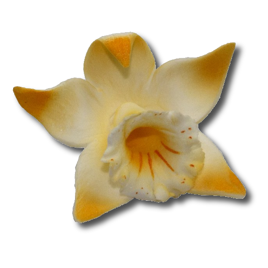 Katleja żółta malowana - 10 szt