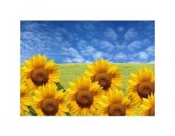 beautiful sunflowers with green grass and blue sky - reprodukcja