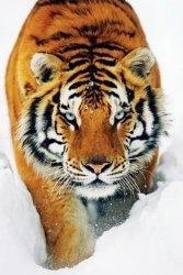 Tygrys śnieżny - plakat