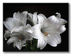 Obraz do salonu - Białe lilie - 120x90 cm