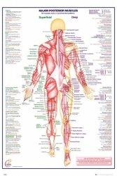 Ciało Człowieka - Tył - Mięśnie (wersja angielska) - plakat