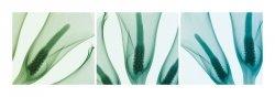 Calla Lillies - reprodukcja