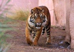 Fototapeta na ścianę - Tygrys alfa - 175x115 cm