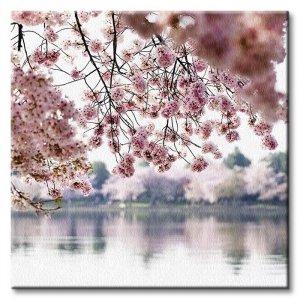 Obraz ścienny - Kwiaty wiśni - 40x40cm